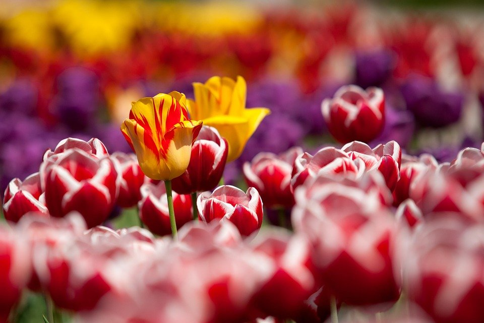 Tulips Flowers Red Plant Garden Spring